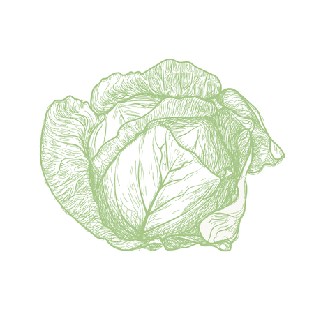 Cabbage vector drawing.