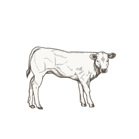 Calf vector drawing.