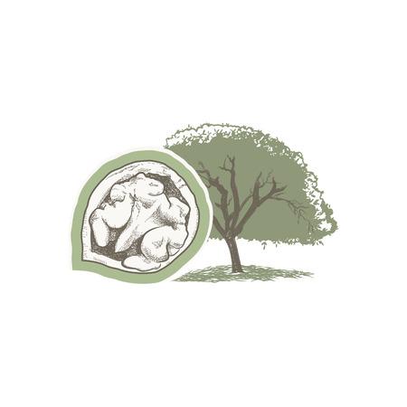 호두 나무 & 너트 벡터 드로잉