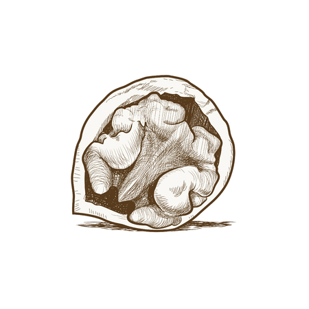 Walnut Vector Drawing Illustration
