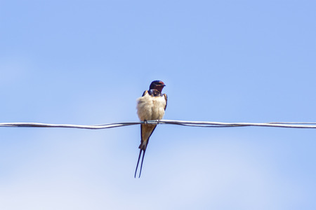 bedraggled: bedraggled swallows on wire