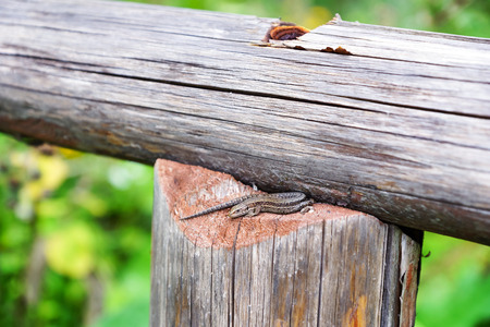 viviparous lizard: Little brown lizard on the wooden railing Stock Photo