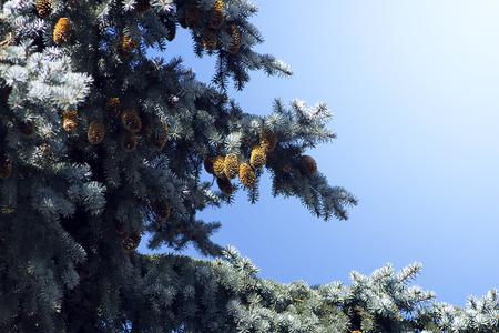 evergreen branch: rama de �rbol de hoja perenne con pi�as en un d�a soleado