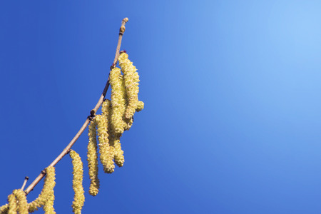 twig catkins in spring against blue sky photo