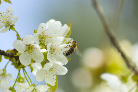 pollinate: Bees pollinate white flowers in spring