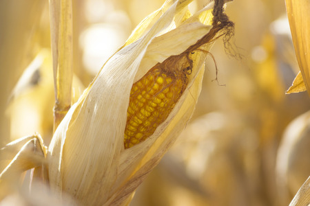 agronomical: ripe corn