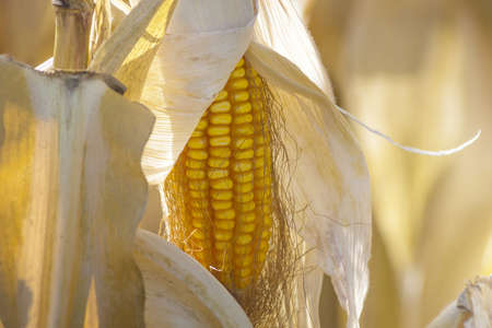ripe corn before harvest Stock Photo