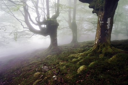 murk: Tenebrous beech forest with fog Stock Photo