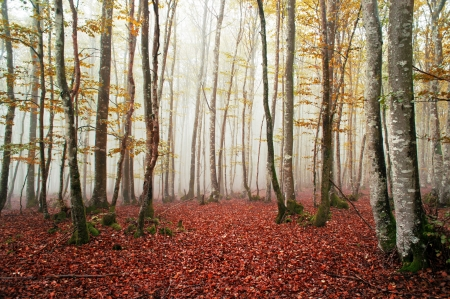 Beautiful beech forest with fog photo