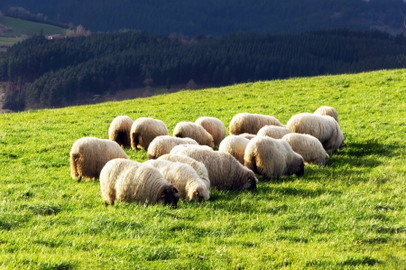 flock of typically basque latxa sheep photo