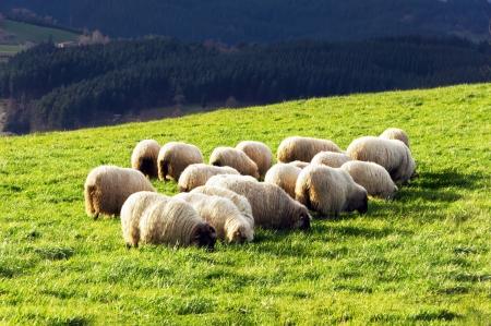 flock of typically basque latxa sheep
