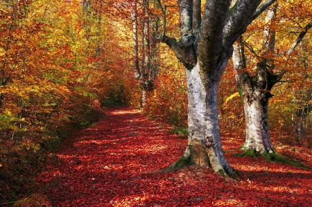 trail in autumn beech forest with vivid colors photo