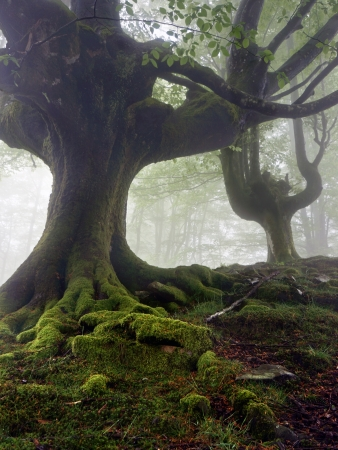mysterious and twisted trees in foggy forest with green roots