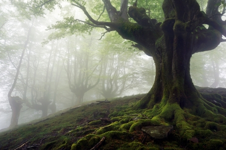 foggy forest with mysterious trees with twisted roots Stock Photo