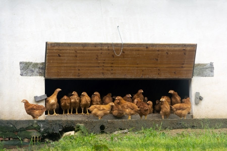 chicken coop with lot of hens photo