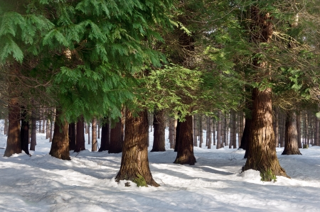 pine forest with snow in winter photo