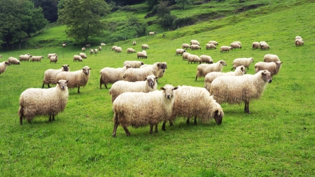 flock of sheep on green grass photo