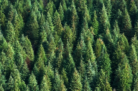 coniferous forest: background with forest of pines