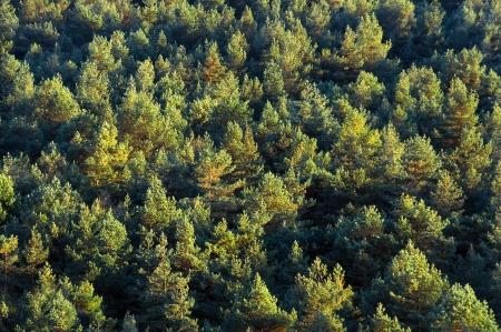 Fond de la forêt avec des arbres motif Banque d'images - 23298619
