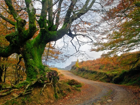 rooted: path in autumn with a twisted tree with roots Stock Photo