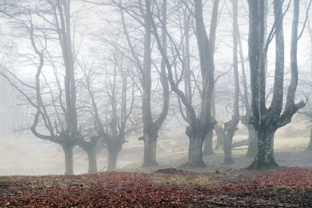 mysterious forest with fog in winter photo