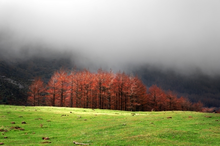 red larches in autumn on mountain with mist photo
