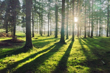 larch forest with sunlight and shadows at sunset Standard-Bild