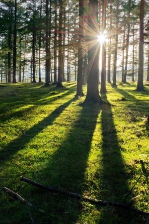 forêt de mélèze avec la lumière du soleil et les ombres au coucher du soleil Banque d'images