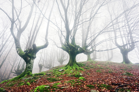 forest with fog and scary and twisted trees photo
