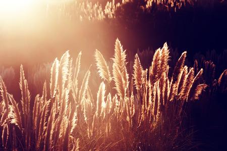 pampas: pampas grass at the sunset Stock Photo