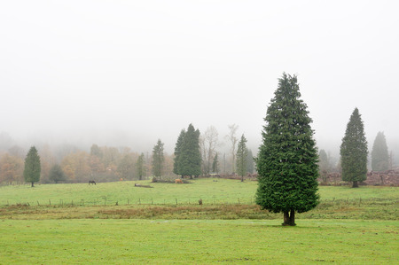 Lawson cypress forest on foggy day