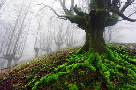 boom met gedraaide wortels in mistig bos