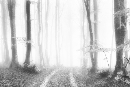 path in the foggy and luminous forest in black and white Stockfoto