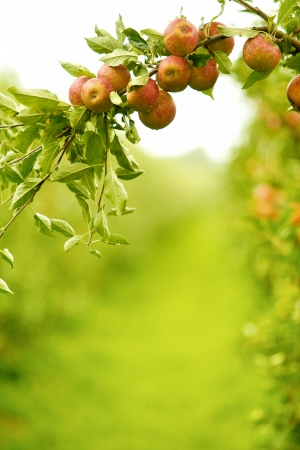 Colorful outdoor shot of red apples on a branch ready to be harvested  photo