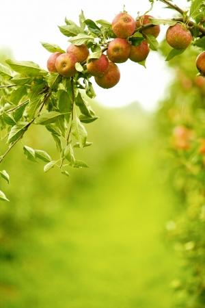 Kleurrijke buiten schot van rode appels op een tak klaar om te worden geoogst Stockfoto