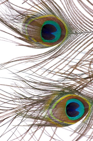 Close up of two peacock feathers against a white background photo
