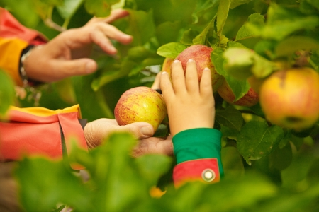 organic farming: Adult and child hands picking ripe apples from tree