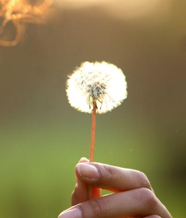 Close up female hand holding dandelion flower