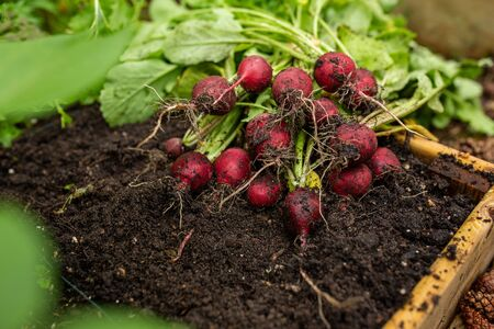 Bunch of organic radish vegetables freshly pick from garden Banque d'images
