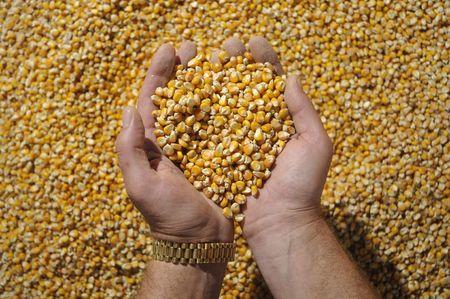 agronomic: Grain of corn in hands Stock Photo