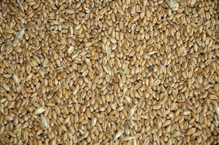 wheat grains in bulk Stock Photo - 6109419