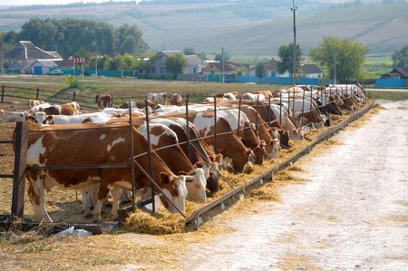 brown-white cows eating hay on open air feeding trough Stock Photo - 6109433
