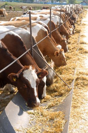 brown-white cows eating hay on feeding trough photo