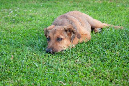 Cute Sad dog puppy lying on grass. Sick dog resting outdoor.