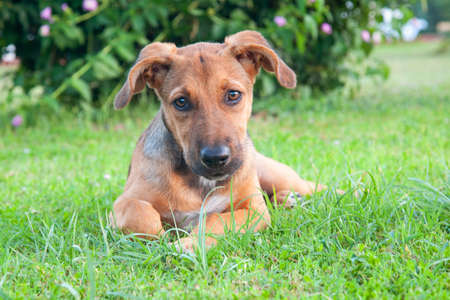 Cute dog puppy lying on grass and looking at camera.