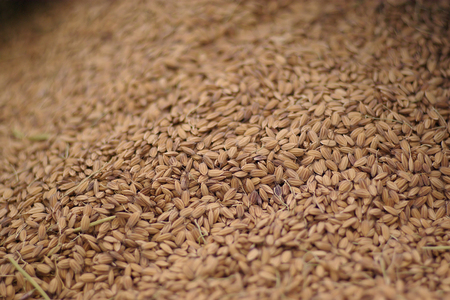 Rice Paddy Seeds