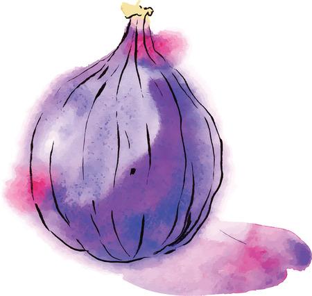 Aquarell fig, vector. Hand gezeichnet. Standard-Bild - 40366825