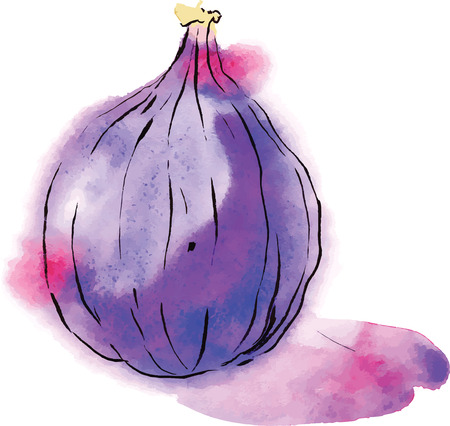 fig fruit: Watercolor fig, vector. Hand drawn.