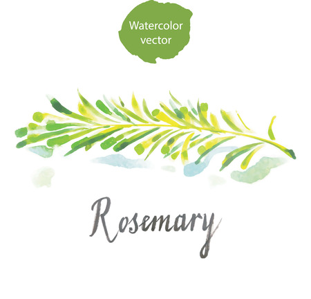 Twig of rosemary, watercolor, vector, hand drawn Ilustração