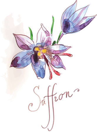 saffron: Watercolor saffron hand drawn vector